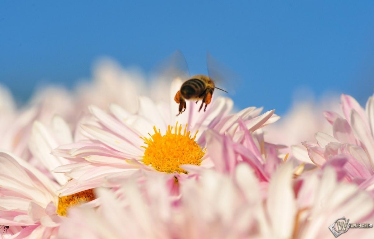 Пчела на цветке 1200x768