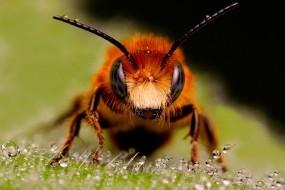 Обои Пчела: Насекомое, Пчела, улей, Насекомые