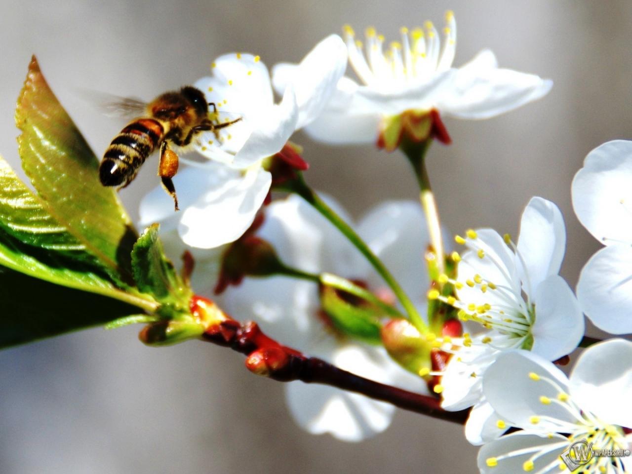 Пчела на черемухе 1280x960