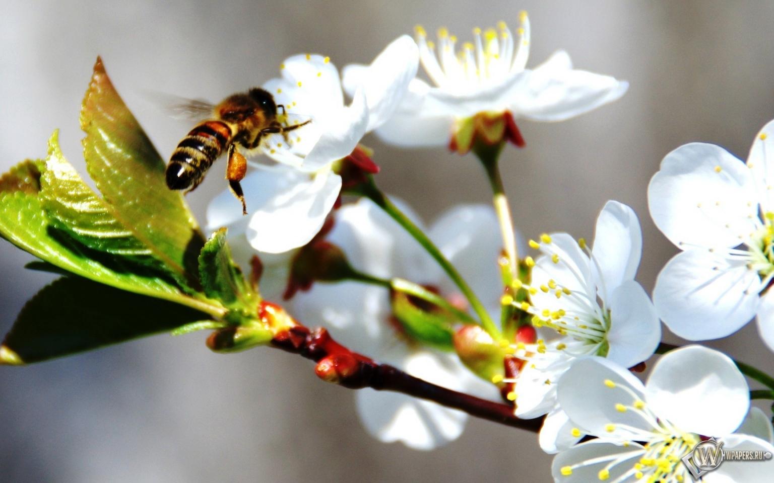 Пчела на черемухе 1536x960
