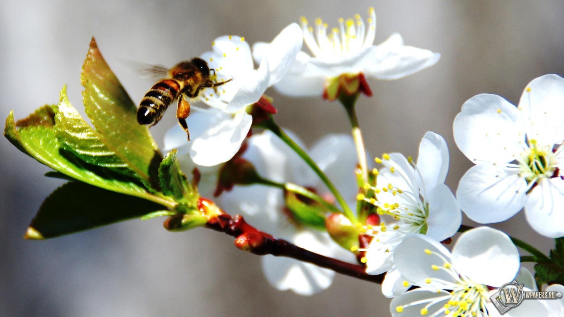 Пчела на черемухе 1920x1080