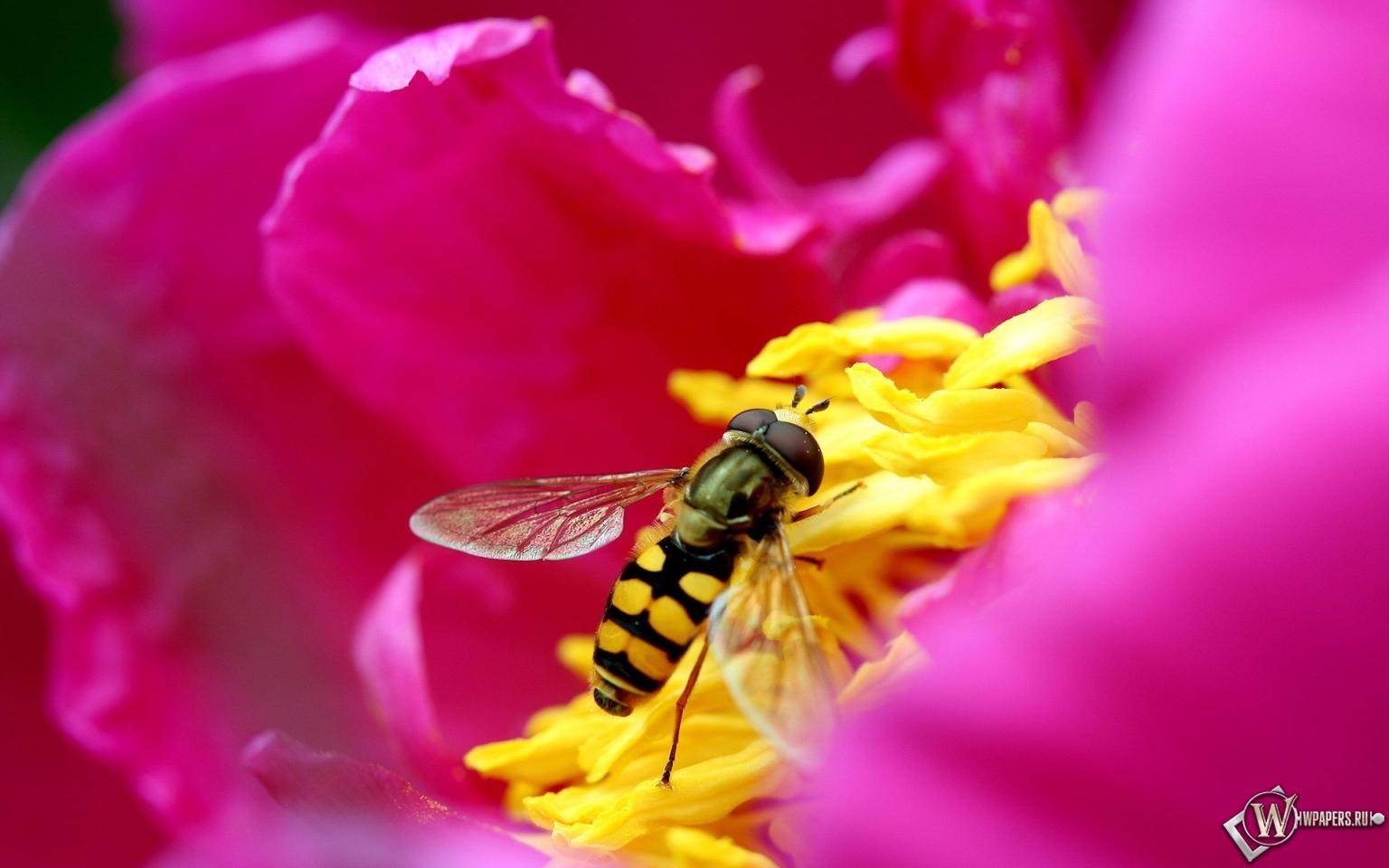Пчела на цветке 1536x960