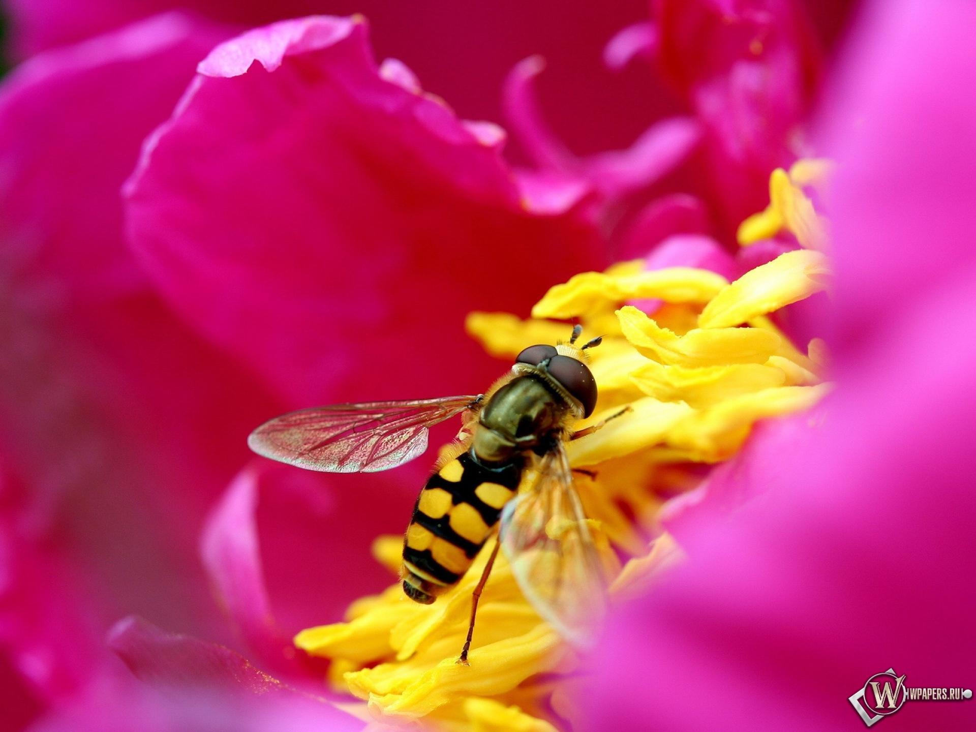 Пчела на цветке 1920x1440