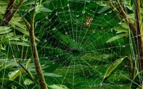 Обои Паук на паутине: Паук, Паутина, Листья, Насекомые