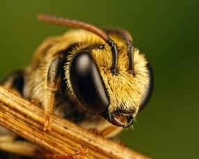 Обои Пчёлка: Пчела, Насекомые