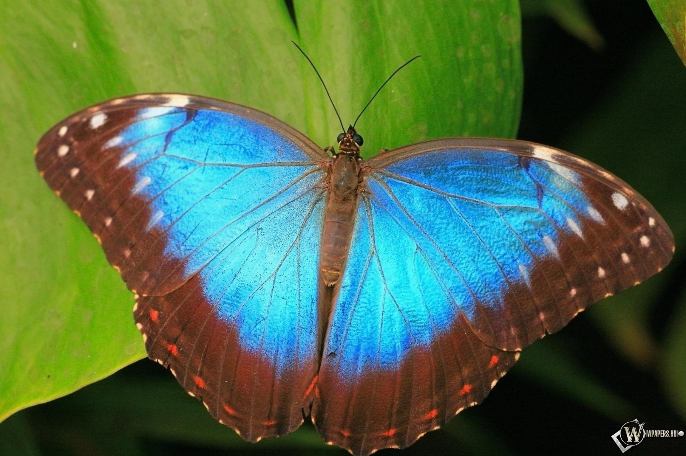Коричнево-синяя бабочка 2300x1530
