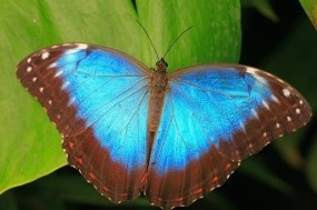 Обои Коричнево-синяя бабочка: Синий, Бабочка, Листья, Бабочки
