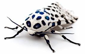 Обои Леопардовая моль: Насекомое, белое, Моль, Бабочки