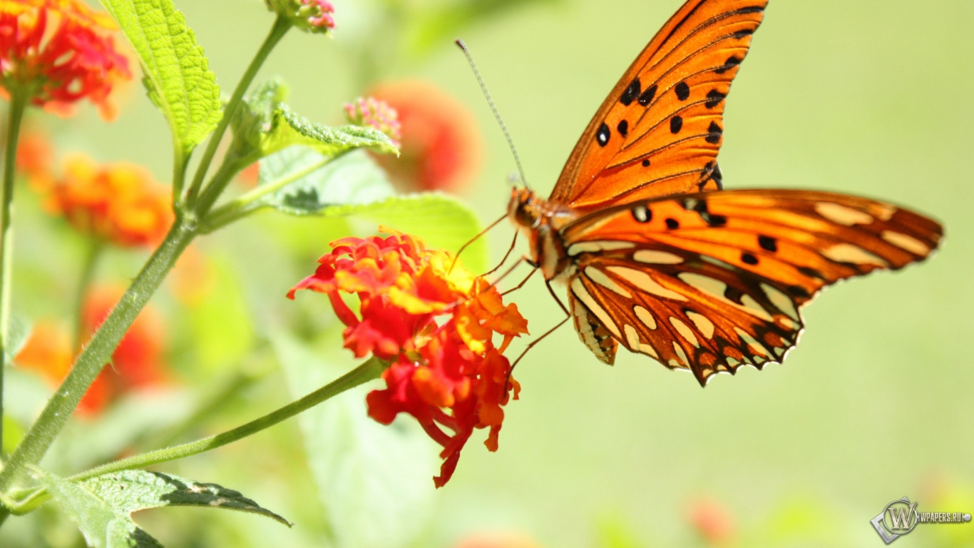 Бабочка на цветке 1366x768