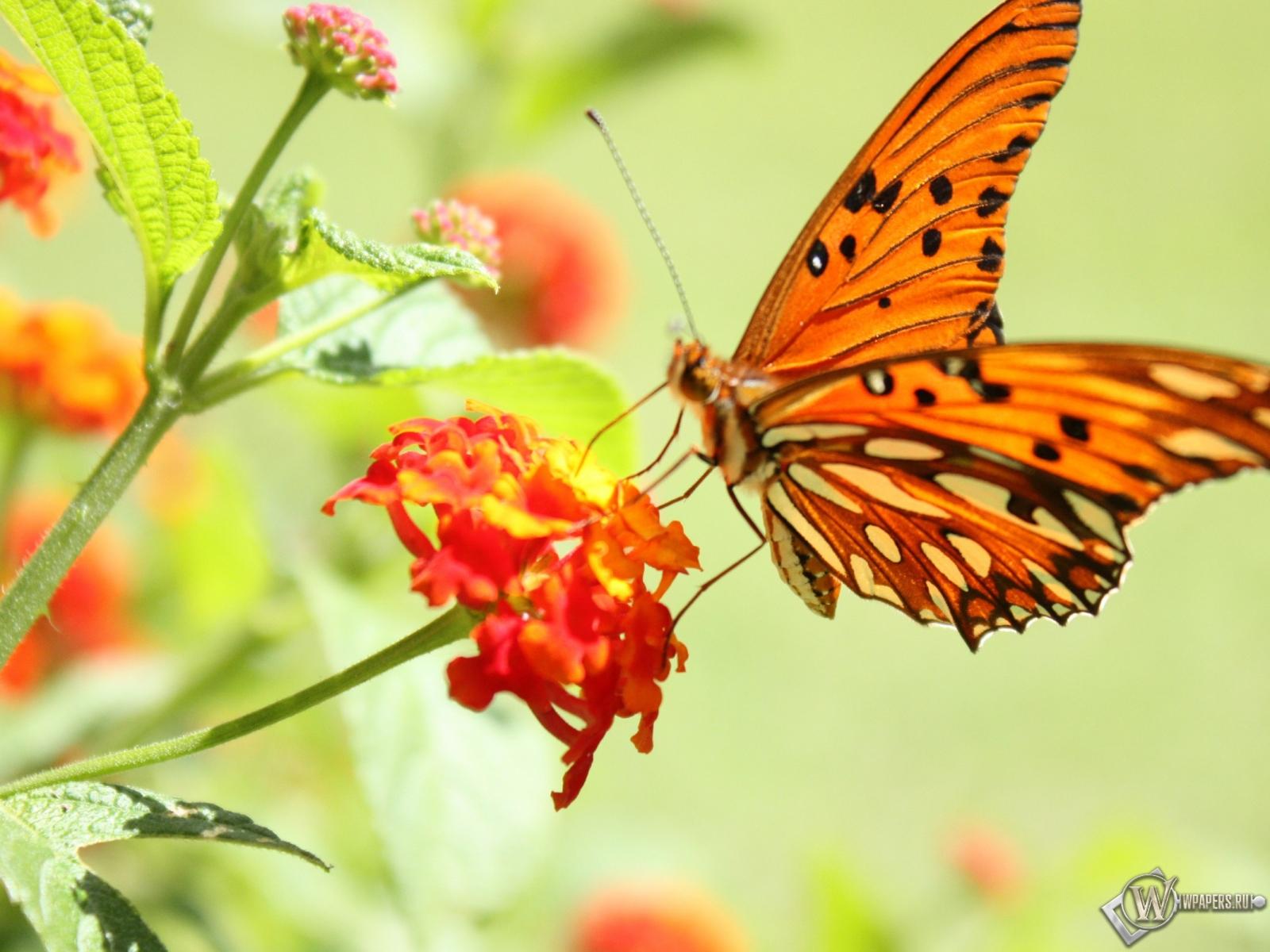 Бабочка на цветке 1600x1200