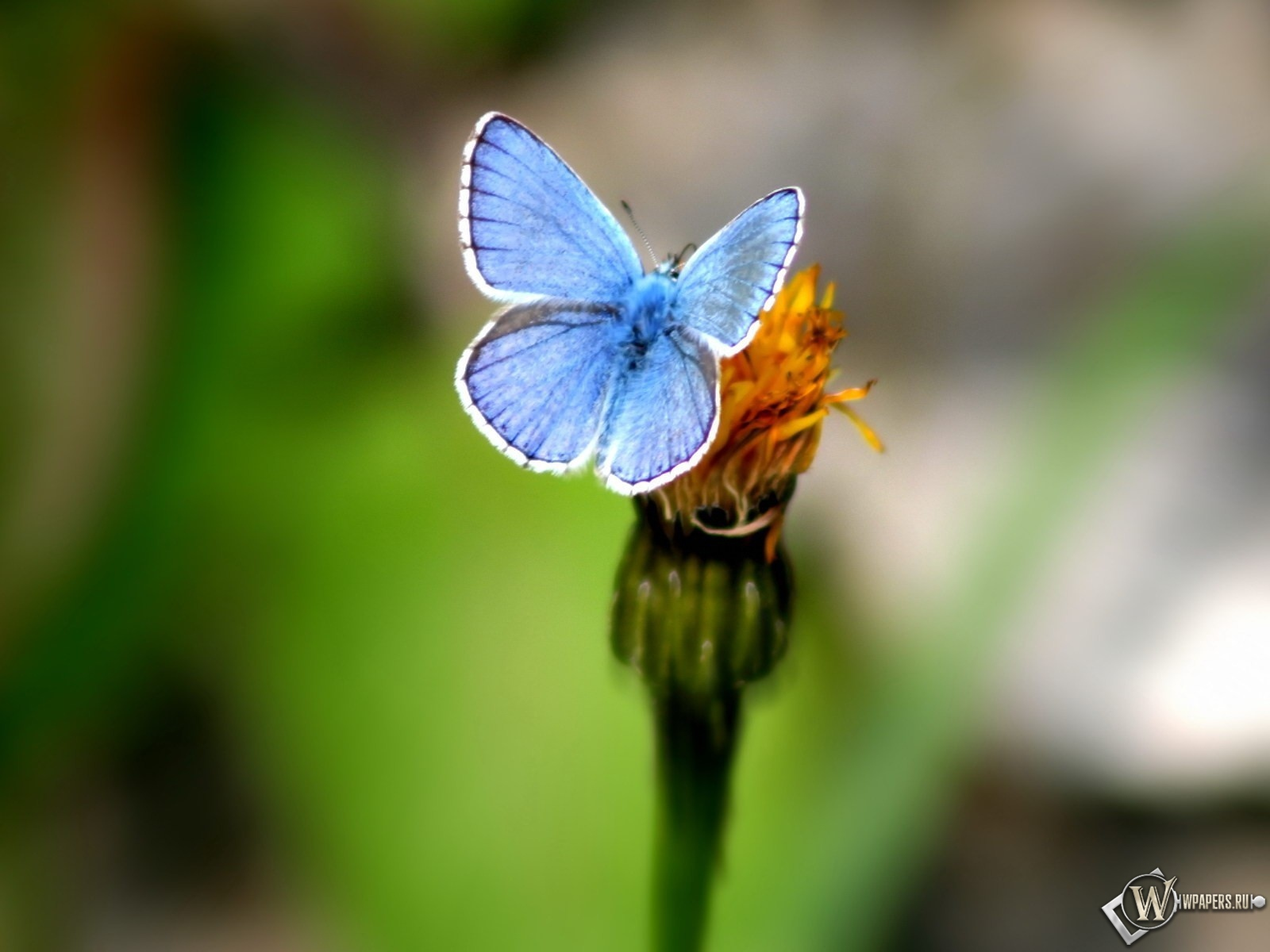 Голубая бабочка 1600x1200