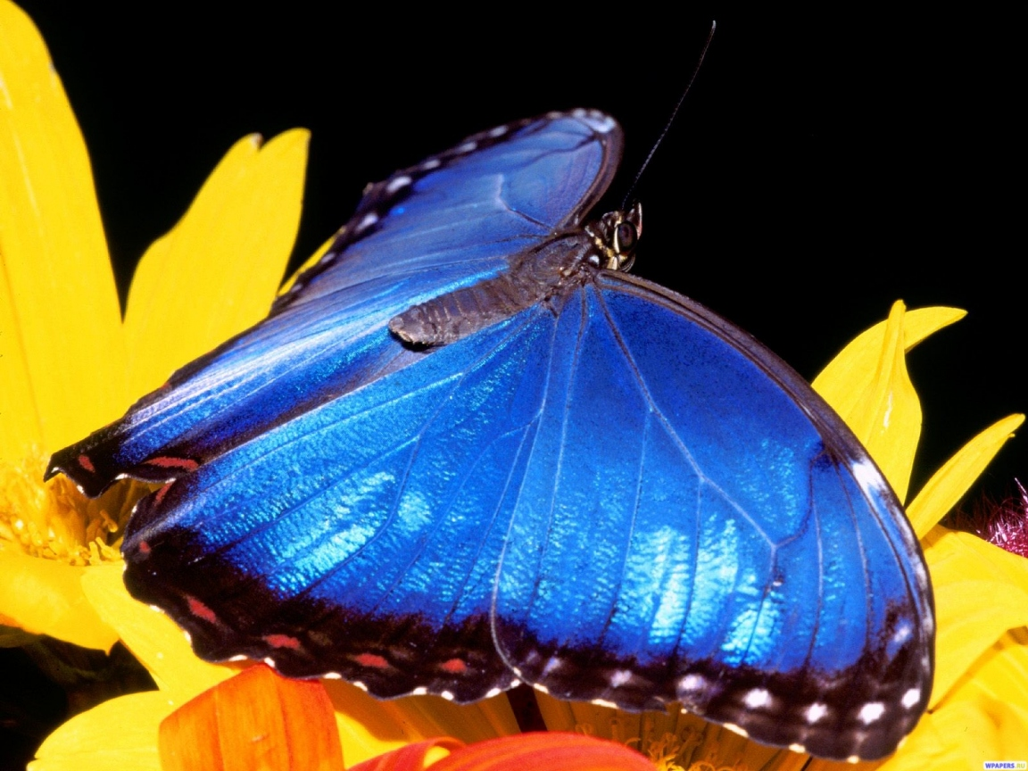 Синяя бабочка 1152x864