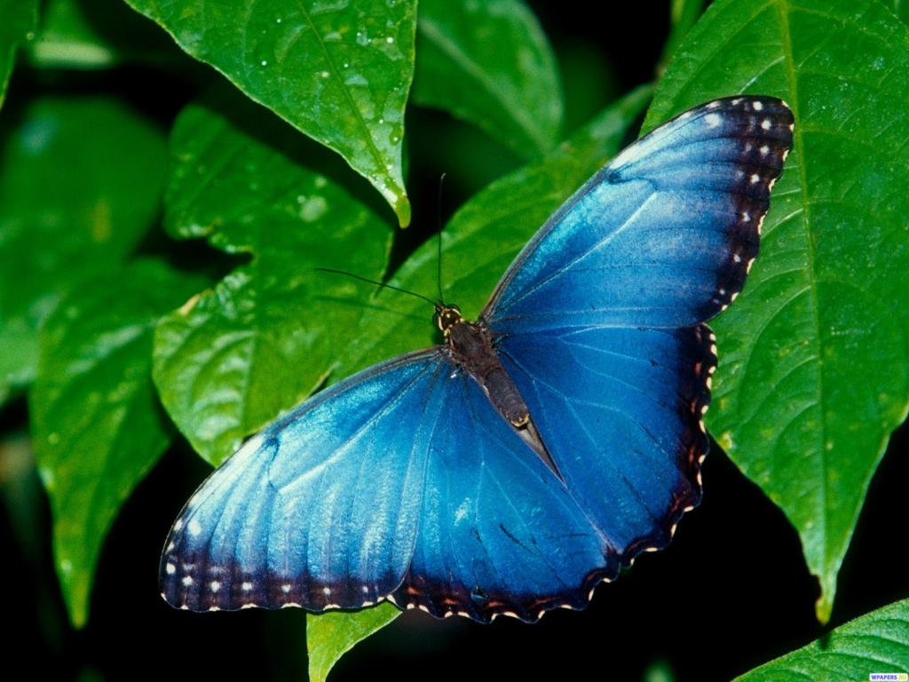 Синяя бабочка 1024x768