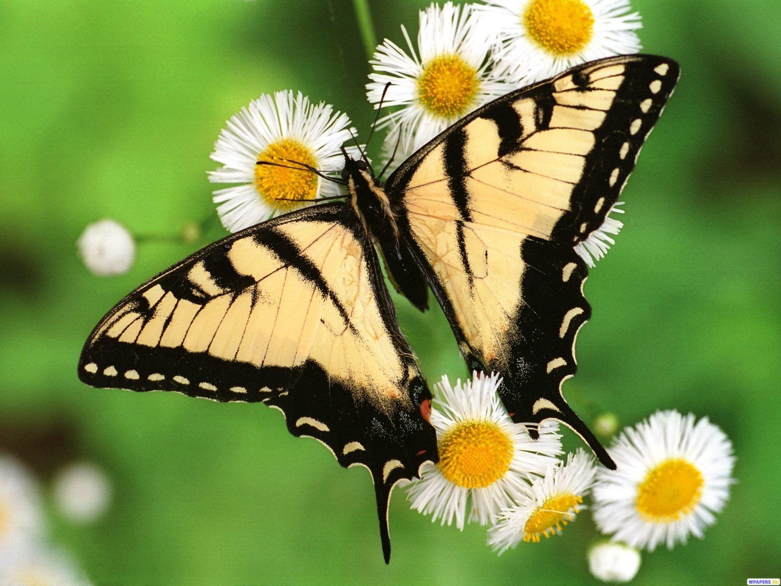 Бабочка махаон 1600x1200