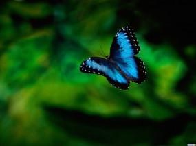 Обои Синяя бабочка: , Бабочки
