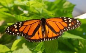 Обои Бабочка-монарх: Листва, Бабочка, Лето, Бабочки