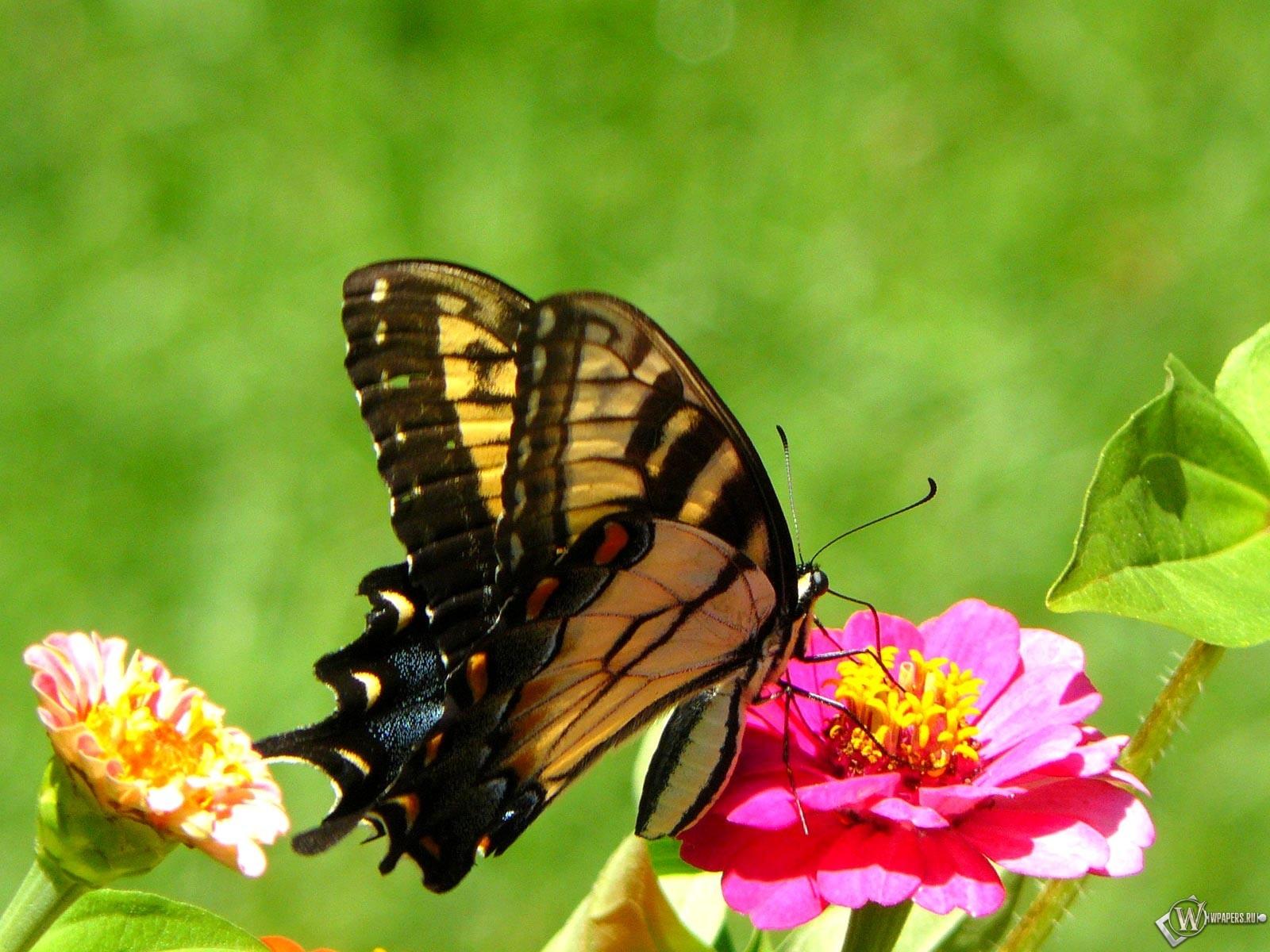 Махаон бабочка 1600x1200