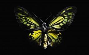 Обои Желтая абочка: Чёрный, Бабочка, Крылья, Бабочки