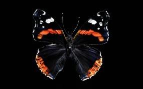 Обои Бабочка: Чёрный, Бабочка, Крылья, Бабочки