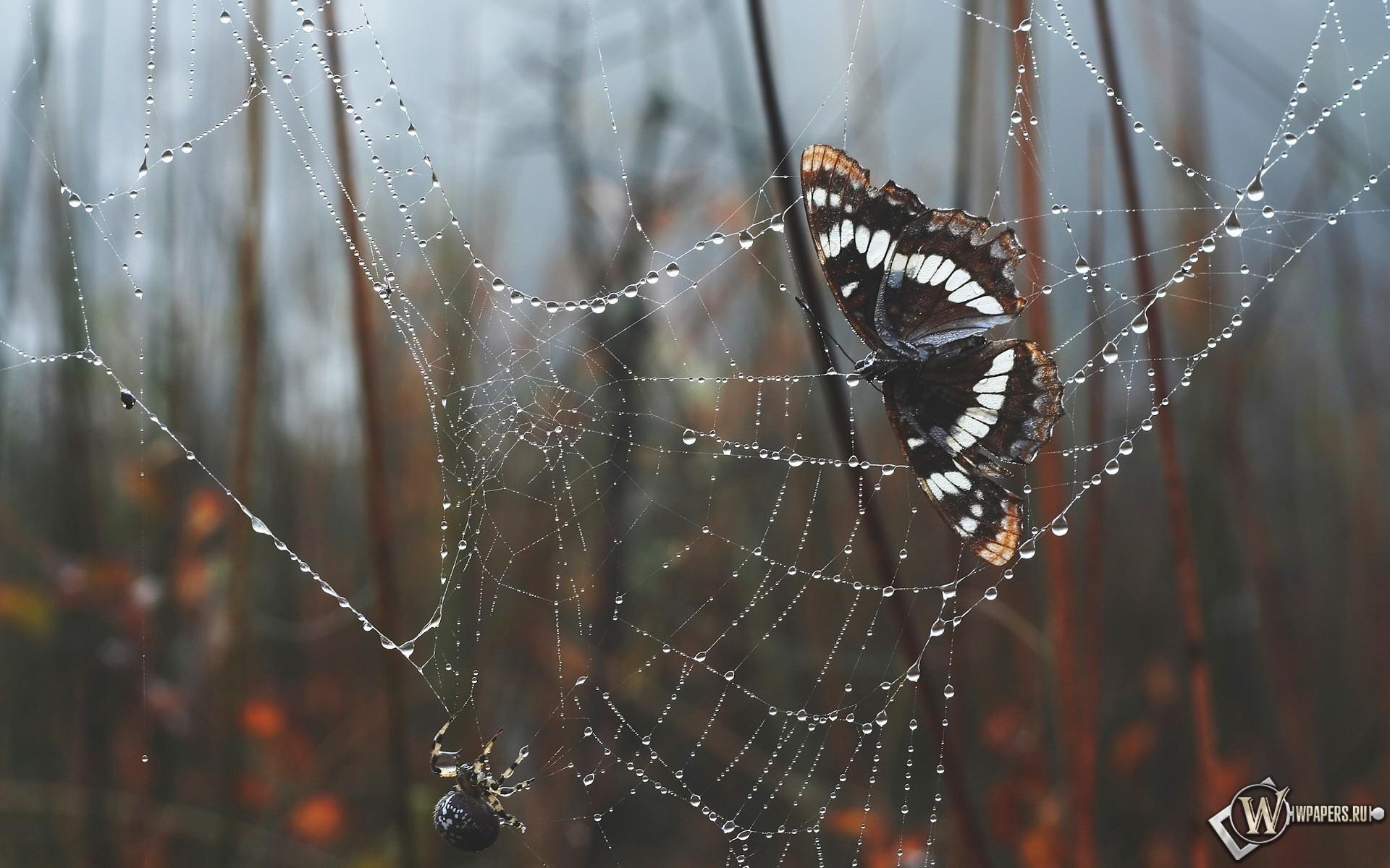 Бабочка в паутине 1920x1200