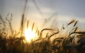 Обои закат на ячменном поле: Солнце, Закат, Небо, Лучи, Ячмень, Растения