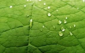 Обои Сетчатый лист: Капли, Лист, Макро, Растения