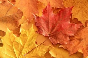Обои Кленовые листья: Осень, Клён, Листья, Деревья