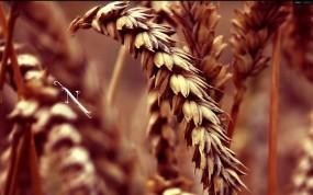 Обои Колос пшеницы: Пшеница, Зерно, Колос, Растения