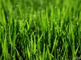 Дождливая травка