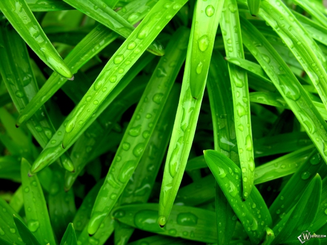 Капли на зеленых листьях травы