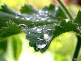 Обои Роса на мохнатом листике: , Растения