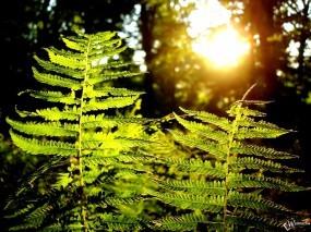 Обои Папоротник: Лес, Солнце, Папоротник, Растения