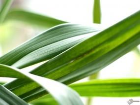 Обои Листья осоки: , Растения
