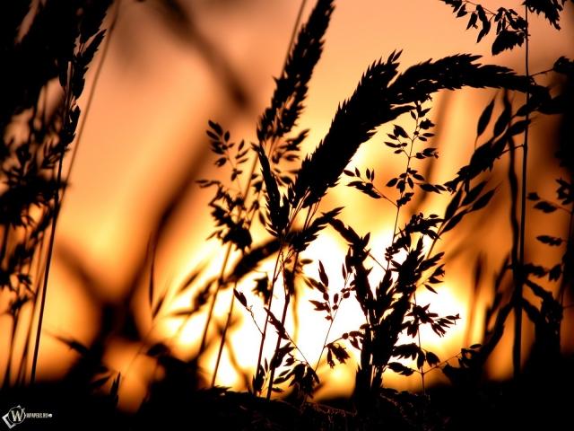 Пшеница на фоне заката
