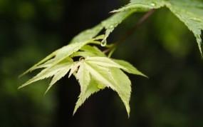 Обои Лист клёна: Лист, Ветка, Клён, Макро, Растения