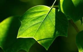Обои Лист: Зелень, Лист, Макро, Растения