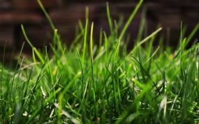 Обои Зеленая трава: Зелень, Трава, Макро, Растения