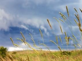 Обои Колосья в поле: Пшеница, Поле, Растения