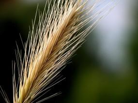 Обои Колос: Пшеница, Макро, Колос, Рожь, Растения