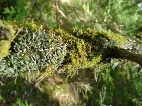 Обои Мох: Лес, Мох, Коряга, Растения