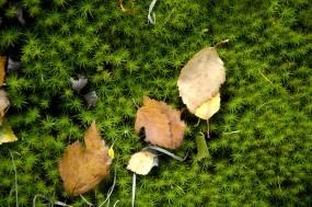 Обои Листики на мху: Мох, Листья, Растения