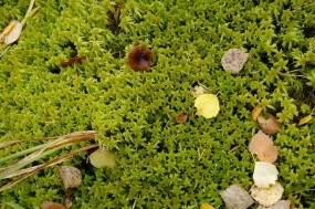 Обои Лесной мох: Мох, Растения