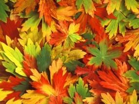Обои Разноцветная листва: Осень, Листва, Листья, Калейдоскоп, Гербарий, Растения