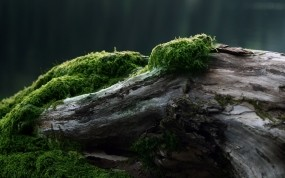 Обои Мох на дереве: Мох, Дерево, Растения