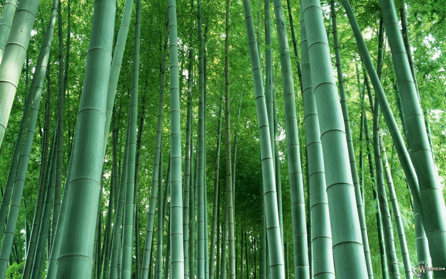 Бамбук 1536x960