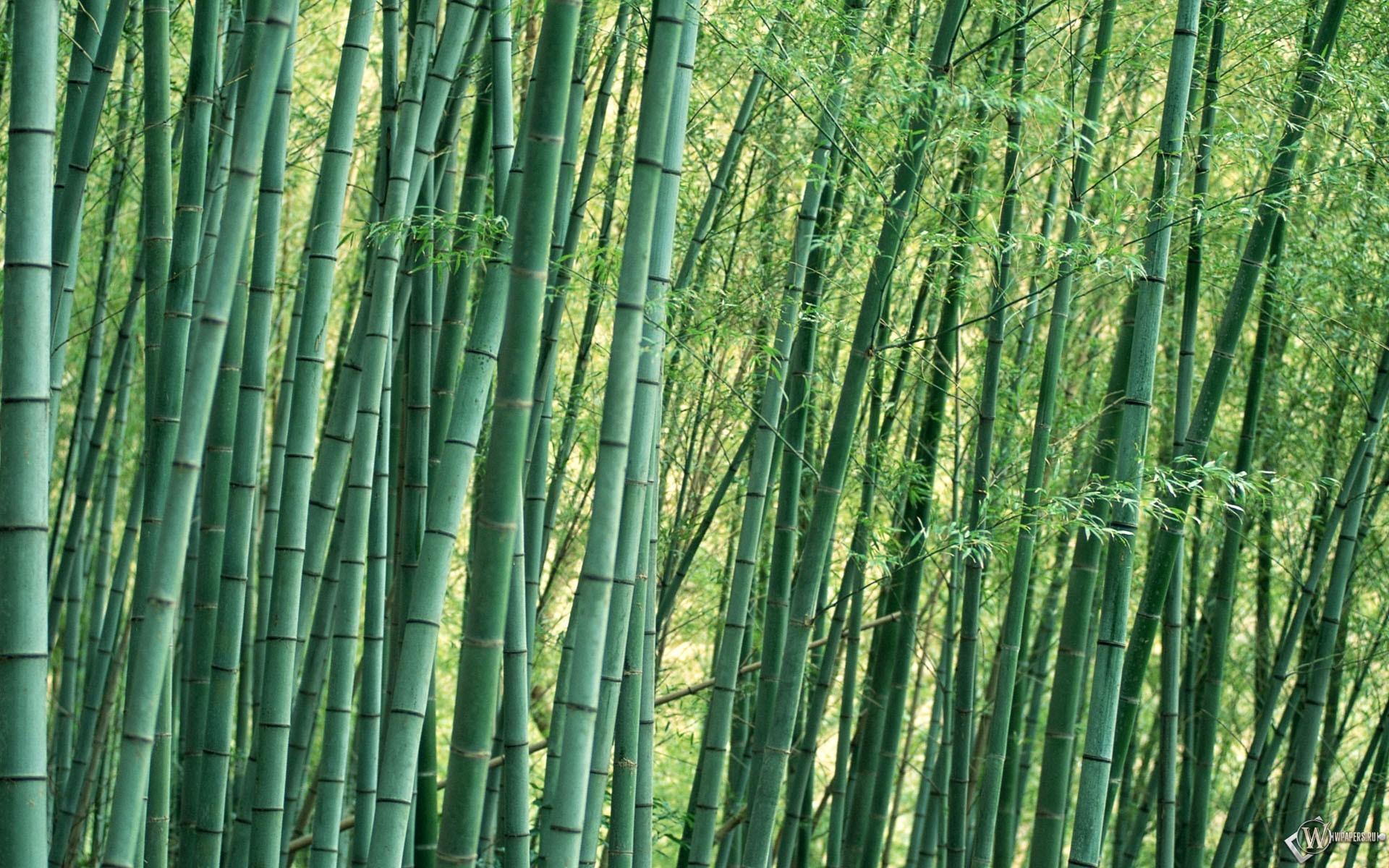 Бамбуковые заросли 1920x1200
