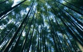 Обои Заросли бамбука: , Бамбук