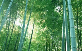 Обои Бамбук: , Бамбук