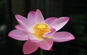 Обои Лотос: Цветок, Розовый, Лотос, Цветы