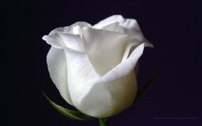 Обои White Rose: Чёрный фон, Белая роза, Цветы